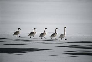 Mentoring-geese