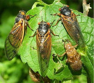 CicadaClusterLrg