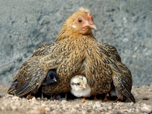 ChicksUnderWing